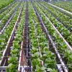 Large rows of plants