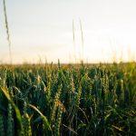 A weat crop at sunrise
