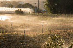 Farm field of flowers being sprayed by irrigation sprinklers