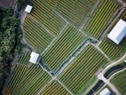 Birds eye view of crops in a row