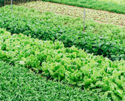 Healthy crops within a rows